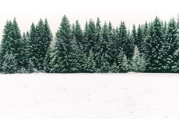 Poster Kaki Spruce tree forest covered by fresh snow during Winter Christmas time. This winter scene is almost duotone due to the contrast between the frosty spruce trees, white snow foreground and white sky.