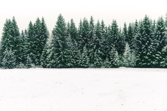 Spruce tree forest covered by fresh snow during Winter Christmas time. This winter scene is almost duotone due to the contrast between the frosty spruce trees, white snow foreground and white sky.