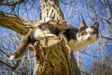 Cute Black and white kitten on tree.  Black and white spotted cat looks down from tall tree. Photo taken from below.