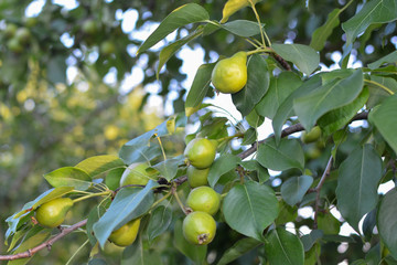 Branch with pears