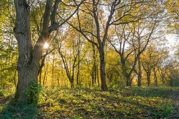 Walnut tree alley in warm autumn light