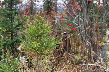 Молодая зелёная ёлка в лесу, поздней осенью.