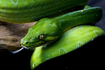Green Tree Python/ Chondropython azureus/ Morelia Viridis