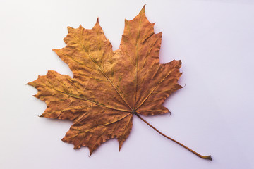 Yellow maple leaf on an isolated white background