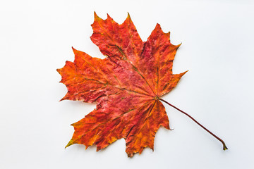Orange maple leaf on an isolated white background