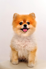 Sweet Puppy Pomeranian Dog