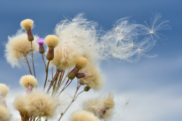 the wind carries the seeds of thistles