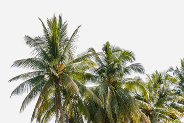 The coconut trees on isolated white background
