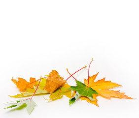 autumn concept. heap autumn maple leaf on white background with copy space. mock up for text, congratulations, phrases, lettering