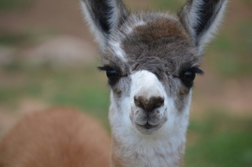 Eyelashes on a Baby Llama