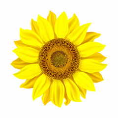Realistic sunflower isolated on white. Vector illustration.