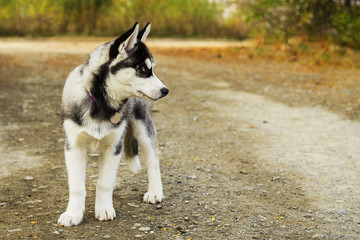 Portrait of a cute Siberian hussy puppy, standing on a alley in autumn park