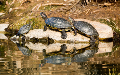 Turtle Family on a Rock