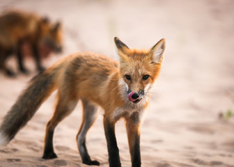 Wild fox licking mouth in natural animal environment