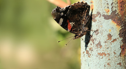 Butterfly sits on an old and rusty pipe ...