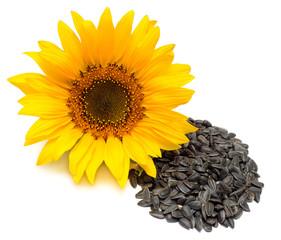 Flower. Sunflower isolated on white background