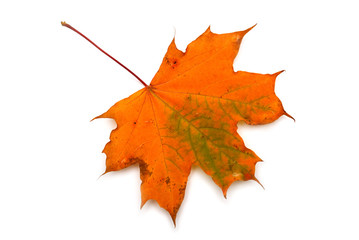Autumn leaf maple isolated on white background. Falling foliage. Flat lay, top view, creative concept