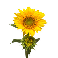 Flower of sunflower with a bud isolated on white background. Seeds and oil. Flat lay, top view