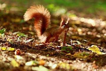 Curious red squirrel with hazelnut in his mouth jumping on the ground in a park