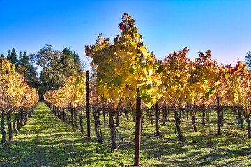 The colorful Autumn colors in a vineyard