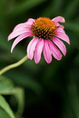 pink cone flower in a garden