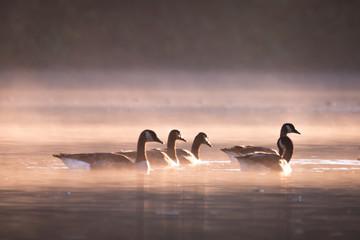 Gänse im Morgendunst auf dem See