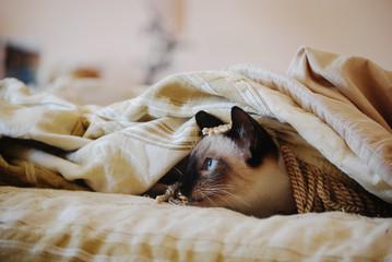 Kitten hides under a blanket