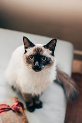 Siamese cat with a old book