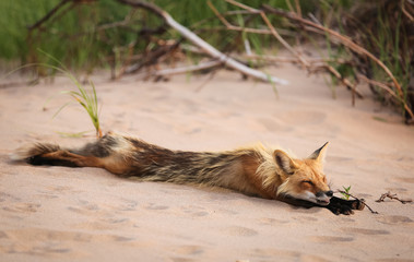 Wild fox stretching and sleeping in natural animal environment outdoors
