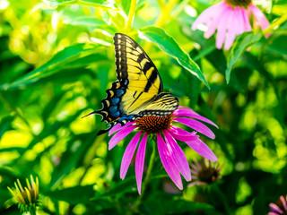 Tiger swallowtail butterfly on purple coneflower
