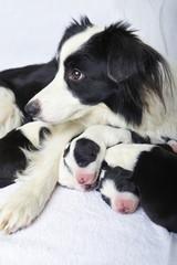 mom border collie with her newborn baby indoor