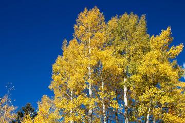 Yellow aspen tree against blue sky