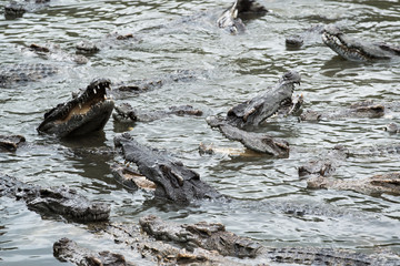 crocodile crowd