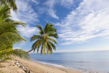 Hanging palm tree, Holloways Beach, Cairns, Queensland, Australia
