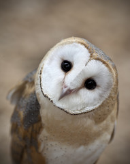 Curious Barn Owl Closeup Portrait