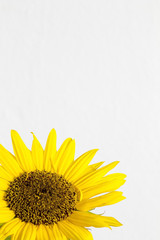 Sunflower on a white background