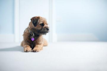 Sweet Border Terrier