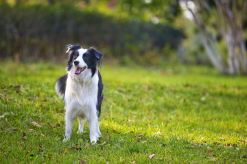 adult border collie outdoor in the park