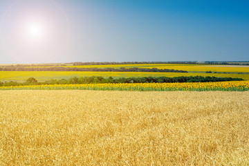 Rural summer landscape - wheat field and sunflower fields. Fields of wheat and sunflowers, blue sky and space for text.