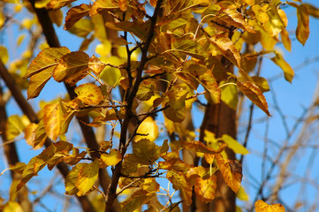 A branch of a mulberry tree with autumn yellow leaves on the background of blue sky