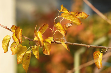 A branch of a mulberry tree with autumn yellow leaves close-up