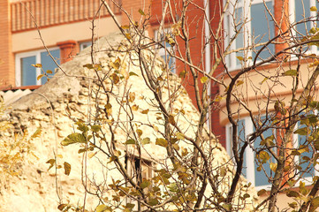 A branch of a mulberry tree with autumn yellow leaves on the background of an old and new buildings