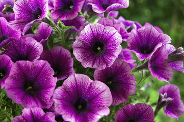 A bed of purple petunias (Petunia Grandiflora).