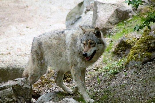 A wolf in Sweden