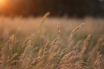 Grass in golden sunlight