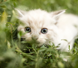 little kitten is walking in green grass outdoors