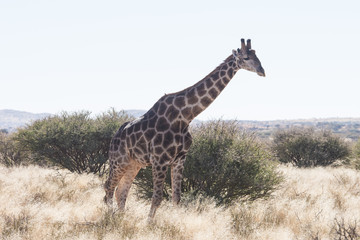 Close up image of a giraffe walking in the kalahari in the Northern Cape province of South Africa
