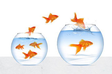Picture of goldfish moving to better place in the transparent aquarium