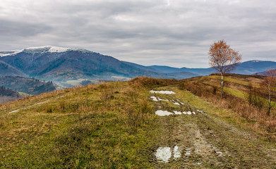 birch tree by the dirt road on hill. gloomy autumn landscape in mountains with snowy tops in the distance
