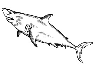 Shark engraving vector illustration